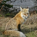 Red Fox - Mount Rainier Nat'l Park