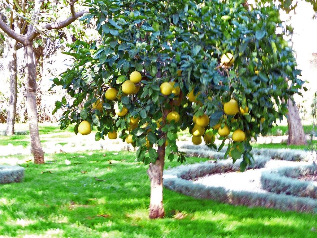 Lovely pomelo tree | pomelos rule! | By: NataschaM | Flickr - Photo ...