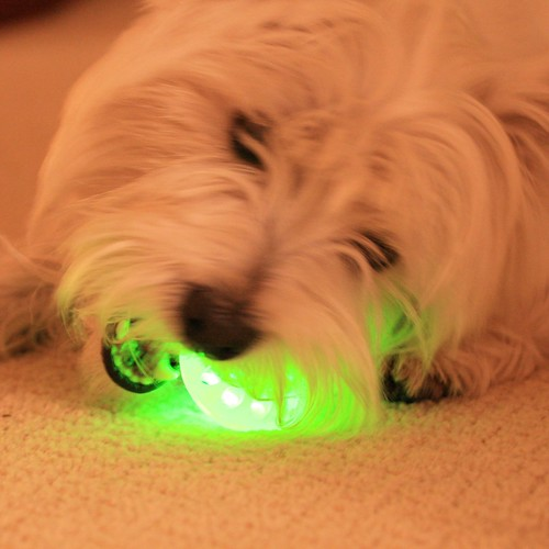 1660643702 10ad934a16 Wee Westie Gnawing on Radioactive Ball