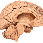 Human brain, medial view