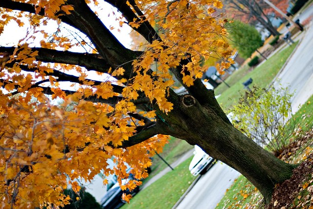 Ohio Maple Tree