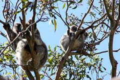 koala in wild 07