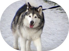dog breed(1.0), animal(1.0), dog(1.0), miniature siberian husky(1.0), alaskan klee kai(1.0), siberian husky(1.0), pet(1.0), mammal(1.0), east siberian laika(1.0), tamaskan dog(1.0), greenland dog(1.0), northern inuit dog(1.0), native american indian dog(1.0), alaskan malamute(1.0), sled dog(1.0),