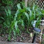 corn planting in Aro Valley by shiny