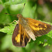 Broad-winged Skipper - Photo (c) Bill Bouton, some rights reserved (CC BY-NC-ND)