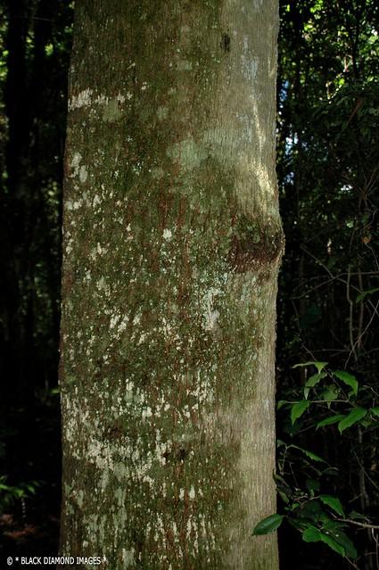 Schizomeria ovata - Crabapple