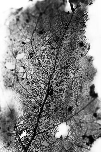 bw white black macro canon john 50mm leaf forgotten 18 sv vitt svart löv teture koinberg koinis