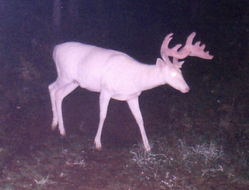 "Albino Whitetail Deer ""Ghost of the Darkness"""