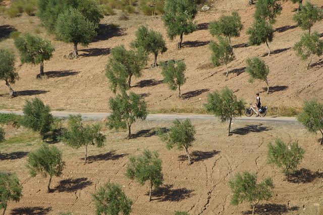 olive trees, everywhere