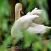 "Boston - Public Gardens ""Swan through the Willow Leaves"""