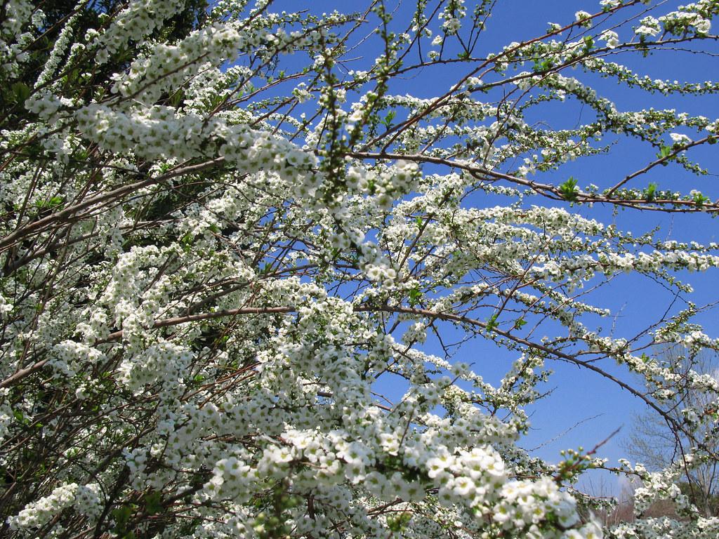 Thunberg's meadowsweet / 雪柳(ゆきやなぎ)