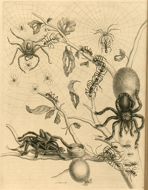 spiders and webs in Maria Sybilla Merian's seminal 18th century illustrated book on insects from Surinam