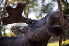 cattle-like mammal(1.0), deer(1.0), moose(1.0), fauna(1.0), close-up(1.0), wildlife(1.0),
