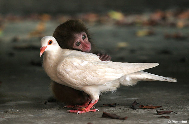 Monkey and Pigeon