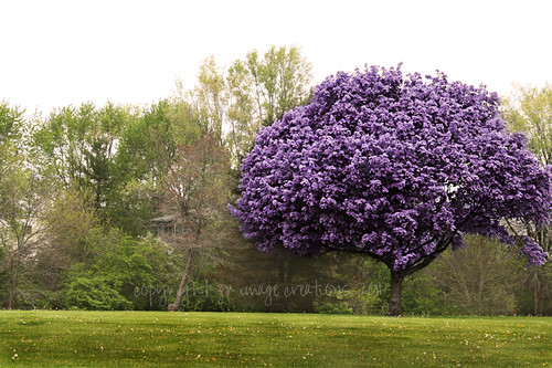 The Purple Tree