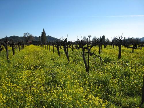 napa, mustard, old vines IMG_1363