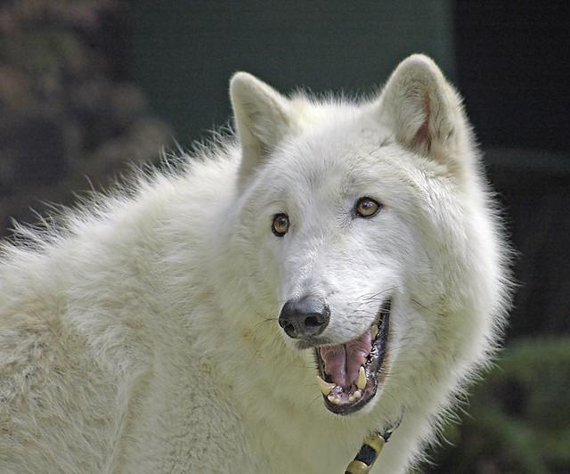 Wolf Dog Food Recipes