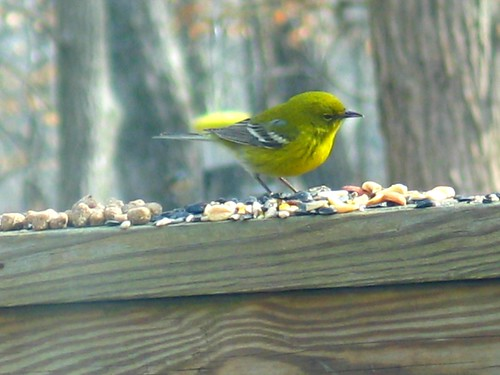 "Pine Warbler - Taken During ""Great Backyard Bird Count 2007"""