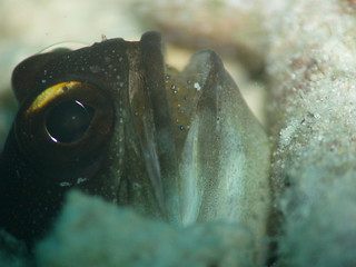 Gold-spec Jawfish
