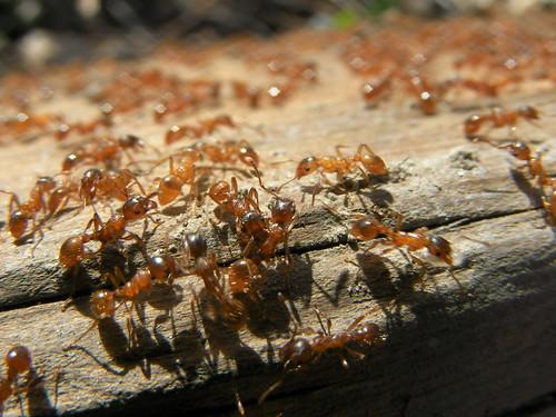 La fourmi de feu : l'une des plus agressive des fourmis - © Jacob Pilich / Flickr