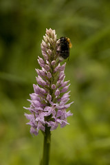 HolderBumble Bee on Common Spotted Orchid