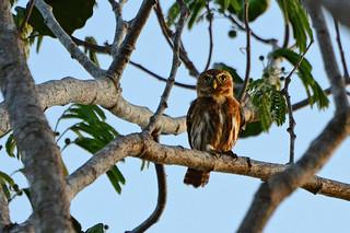 Panama: Ferruginous Pygmy-Owl
