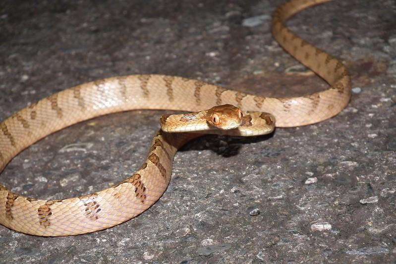 大頭蛇,警戒姿勢,因為受到持續干擾才有這樣的姿態,其實牠看到人第一反應是逃跑!