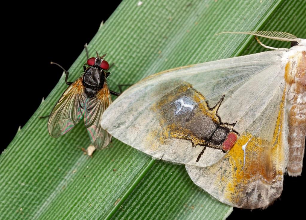 Macrocilix maia (1)