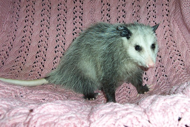 Cute possum ... | ... a redundancy, I know. | By ...