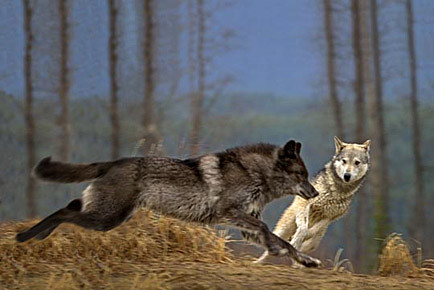 wolves running - Explore rawimagery's photos on Flickr ...