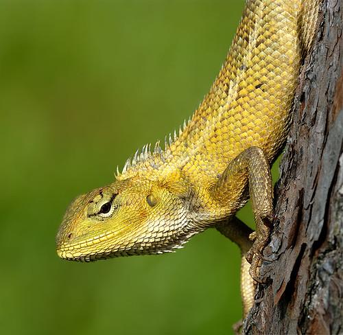 K Dragon Lizard The Lazy Lizard...