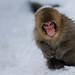 Snow Monkey by Nachosan