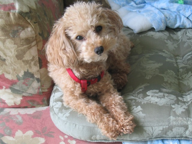 Pumpkin The Dog - a Toy Poodle Rescue | Flickr - Photo Sharing!
