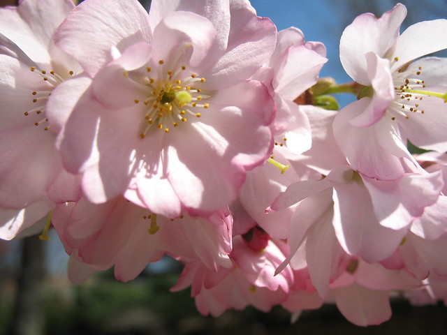 Prunus 'Kanzan' Photo by Medi Blum.