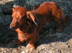 animal, dog, mammal, irish setter, setter, fauna,