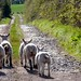 Lambs in the lonning by allybeag