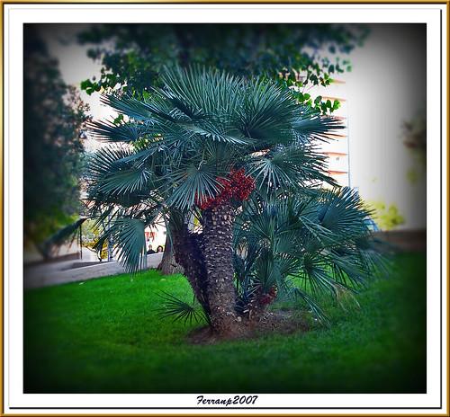 margalló - palmito europeo - Chamaerops humilis