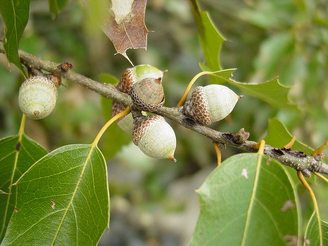 Encino duraznillo (Quercus canbyi), BELLOTAS | Flickr - Photo Sharing!