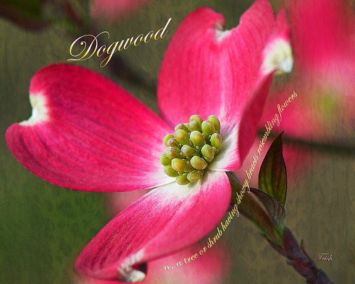 Pleasures of a Dogwood Bloom