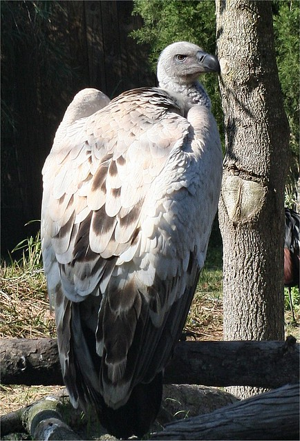 African Condor 2 3 08 Flickr Photo Sharing