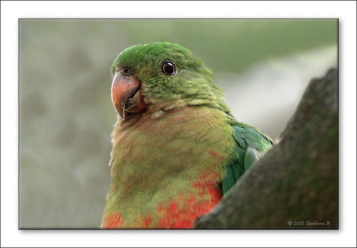 Female King Parrot-8258