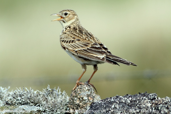 Alaudidae image
