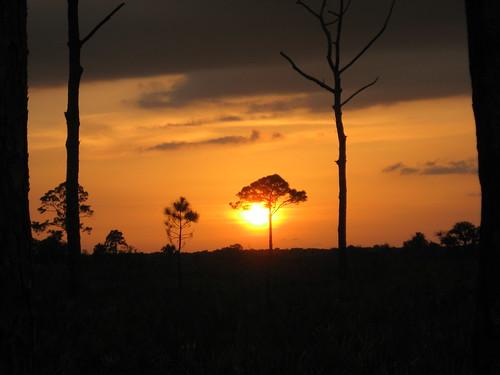 sunset tree pine night florida sarasota myakkastatepark