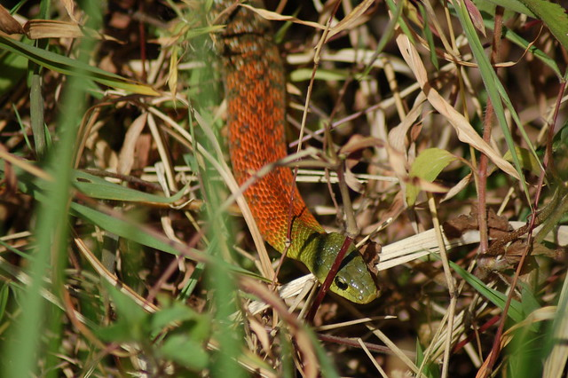 MTLR11b Red-necked Keelback