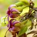 Cashew Blossom