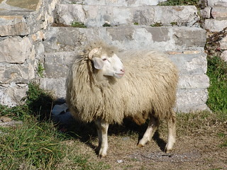 Oveja albanesa