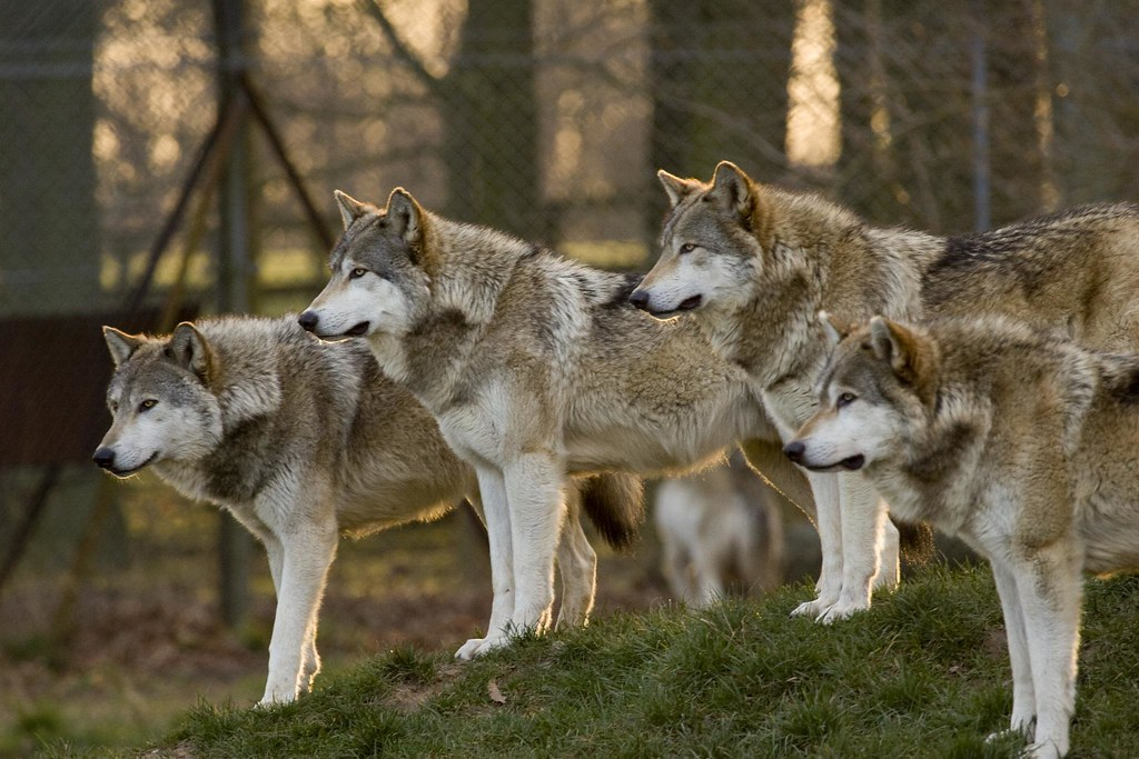 1_Animals_Wolves_1
