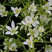 Star-of-Bethlehem - Photo (c) Dan Mullen, some rights reserved (CC BY-NC-ND)