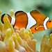 Western Clown Anemonefish - Photo (c) Sergiu Bacioiu, some rights reserved (CC BY-NC)