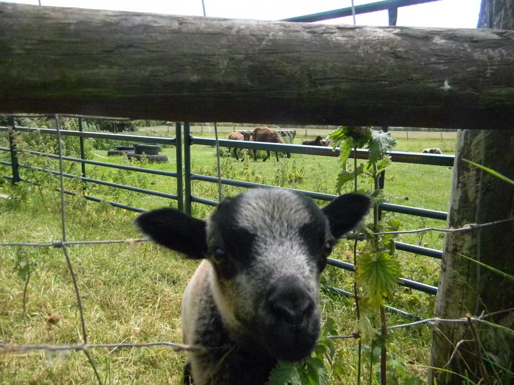 Sheep Appleford Circular